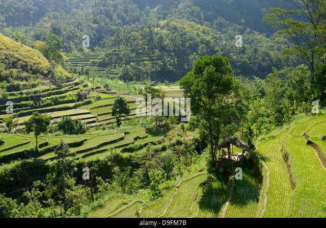 Rice fields, Karangasem, Bali, Indonesia, Southeast Asia - Stock Image