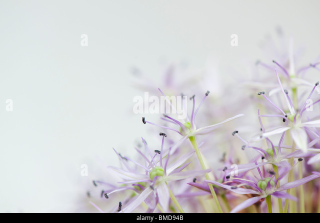 Fading Allium 'globemaster' flower on white background - Stock Image