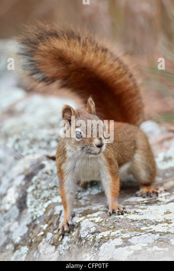 American red squirrel (red squirrel), South Dakota, United States of America, North America - Stock Image