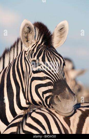 Burchell's zebra (Equus burchelli), resting, Etosha National Park, Namibia, Africa - Stock Image