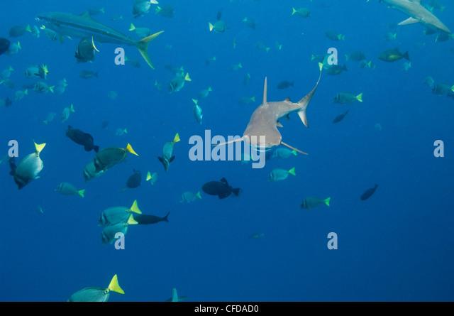 Galapagos Shark off of Wolf Island, Galapagos Islands, Ecuador, South America. - Stock-Bilder