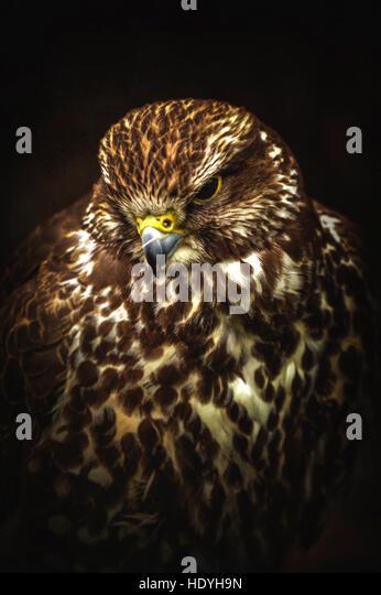 wild bird,hawk - Stock Image