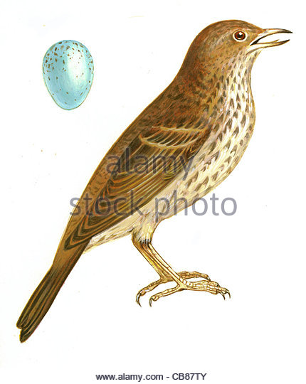 Song Thrush bird species Series Songbird - Stock-Bilder