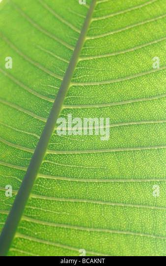 The delicate backlit veins of a textured banana leaf of the Genus Musa - Stock Image