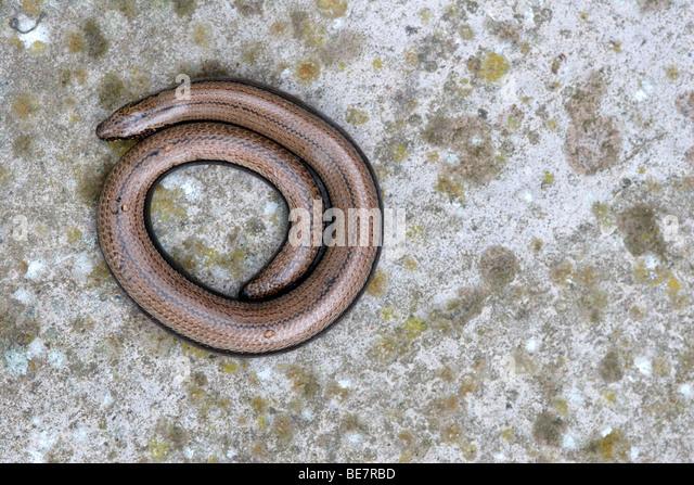 Slow worm (Anguis fragilis) on concrete, England , UK - Stock-Bilder