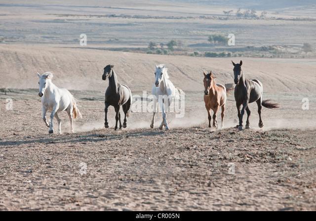 Horses running in dusty pen - Stock Image