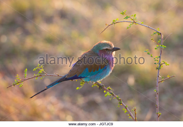 A lilac breasted roller bird in Serengeti National Park. - Stock Image