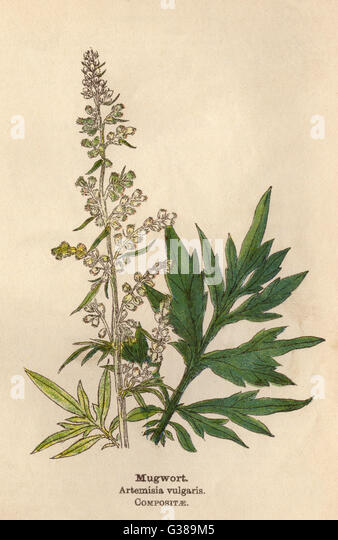 MUGWORT         Date: early 20th century - Stock Image