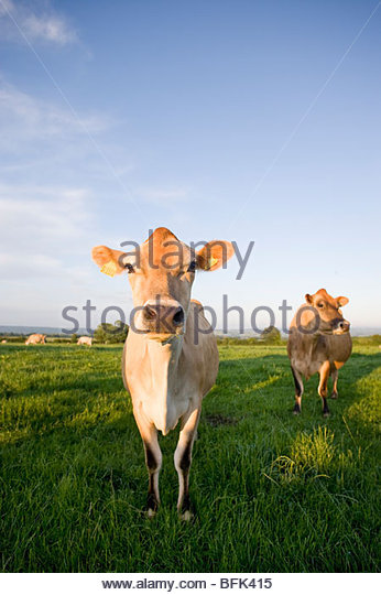 Jersey cows in rural field - Stock Image