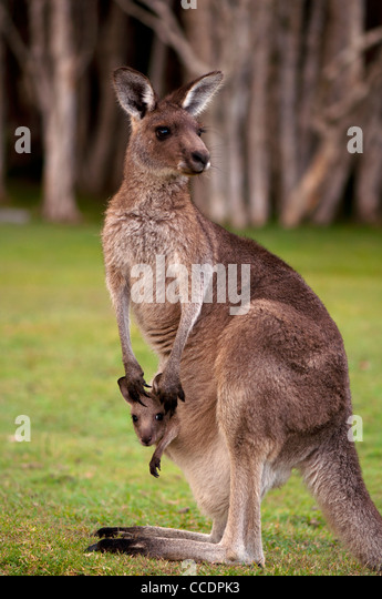 Kangaroo Mum with a Baby Joey in the Pouch - Closeup - Stock Image