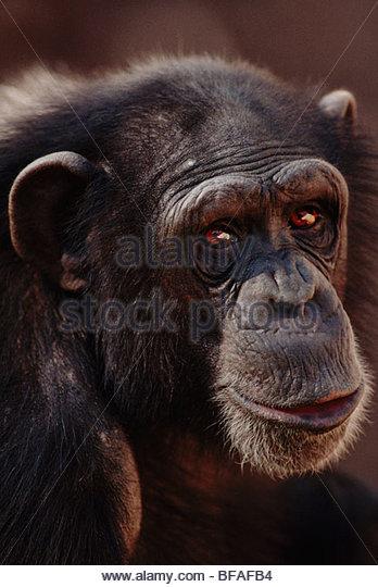 Chimpanzee, Pan troglodytes, Native to Africa - Stock-Bilder