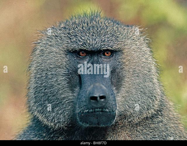 Portrait of male Olive Baboon. Lake Manyara National Park, Tanzania, East Africa. - Stock Image