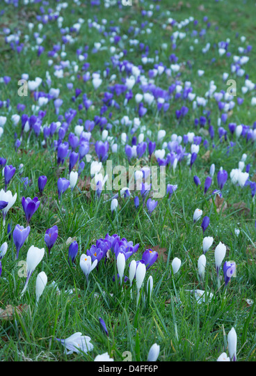 Crocus growing in grass. - Stock Image