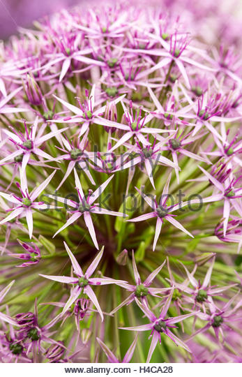 Allium 'Atlas' - Stock Image