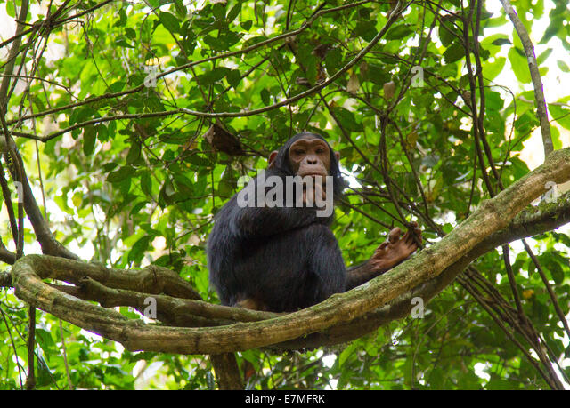 A young chimpanzee plays in the forest and poses in a tree. Shot in Kibale forest National Park. - Stock-Bilder