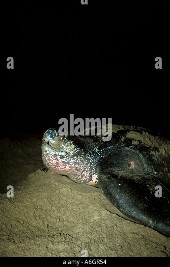 Leatherback Sea Turtle on Beach at Night returning to sea after laying eggs, Trinidad - Stock Image