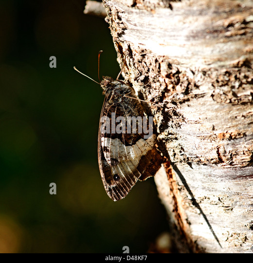 Woodland grayling butterfly on bark of a cherry tree, south-west France - Stock Image