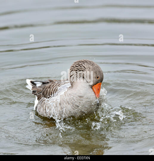 Gray Goose  In The Water - Stock Image