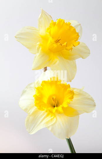 Closeup of two daffodil heads against plain background. - Stock Image