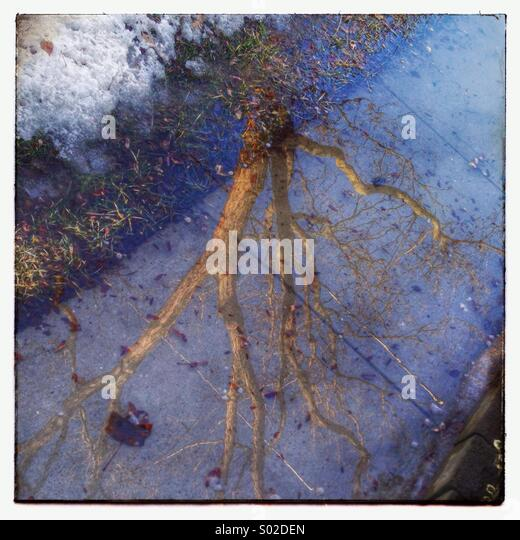 Tree reflection on an icy sidewalk - Stock Image