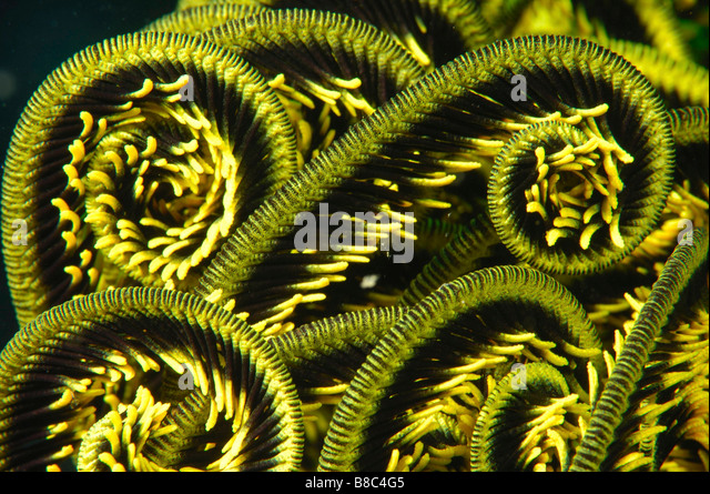 Feather star arms - Stock Image