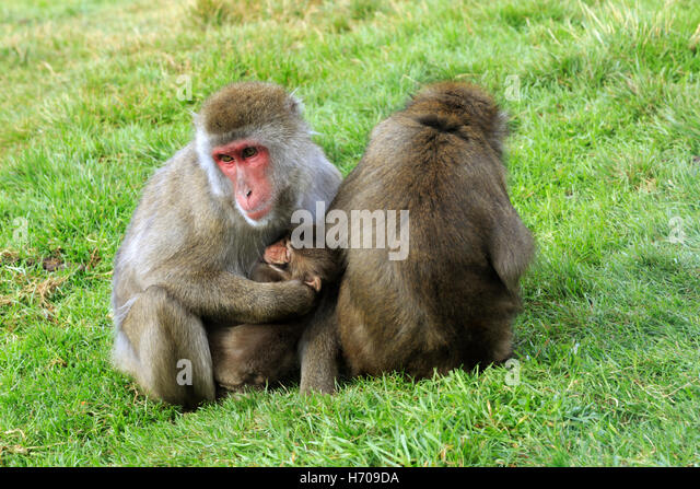 Japanese macaque, Macaca fuscata.  Two snow monkey females with a baby. - Stock Image