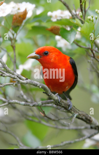 Scarlet Tanager Perched in Hawthorn Blossoms - Vertical - Stock Image