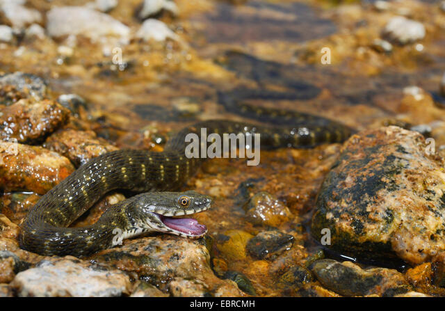 dice snake (Natrix tessellata), defence posture of a dice snake, Turkey, Lycia, Dalyan, Mugla - Stock Image