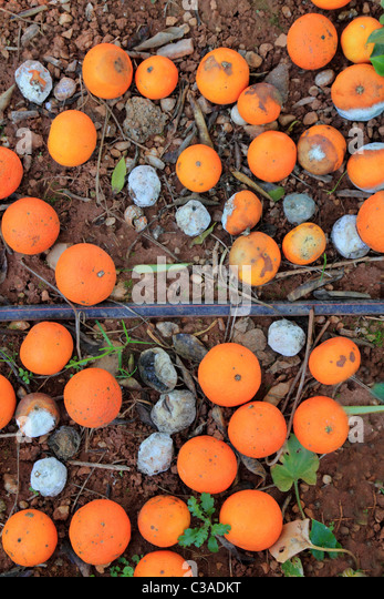 Rotten oranges fallen in floor market price is lower than harvest cost - Stock Image