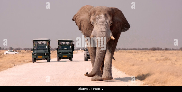 This lone bull elephant is leaving a waterhole in Etosha, Namibia followed by tourist safari vehicles. - Stock-Bilder