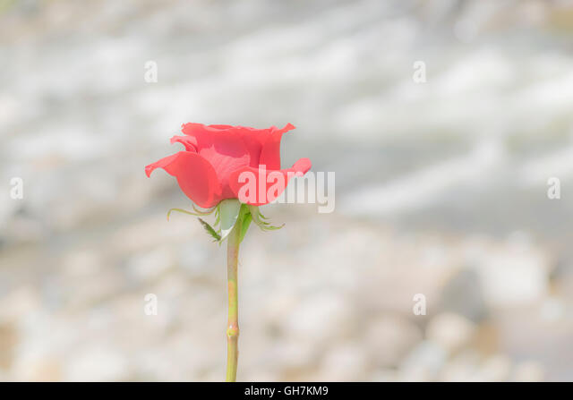 Romantic or poetic conceptual photography of red rose against blurred river background - Stock Image