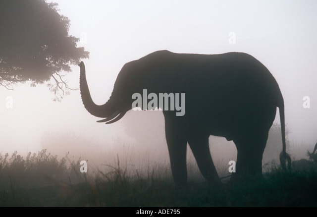 African elephant Loxodonta africana In early morning mist Zimbabwe - Stock Image