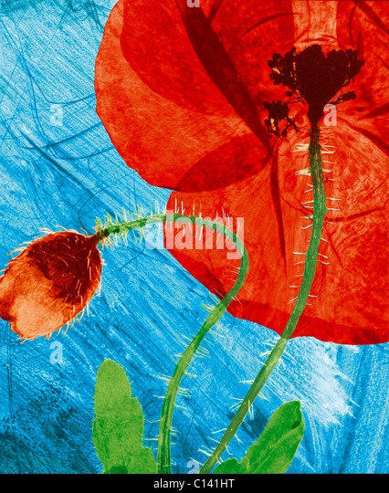 hand coloured pressed wild field poppy flower - Stock Image