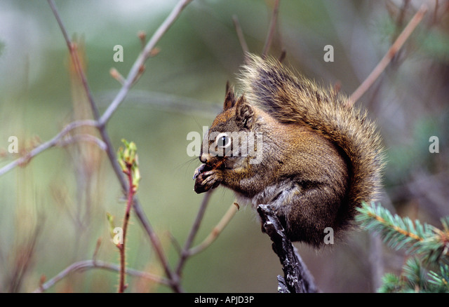 Red squirrel eating a spruce cone - Stock Image
