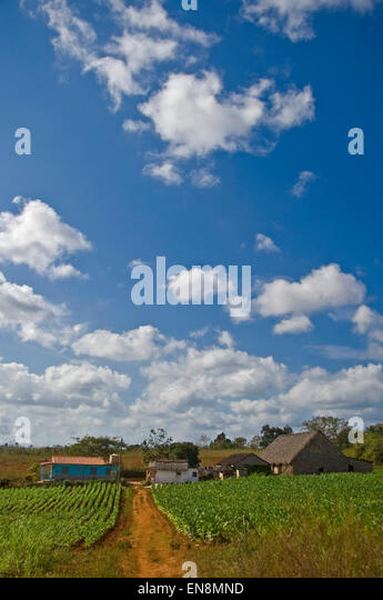 Vertical view of a tobacco plantation in Vinales. - Stock Image