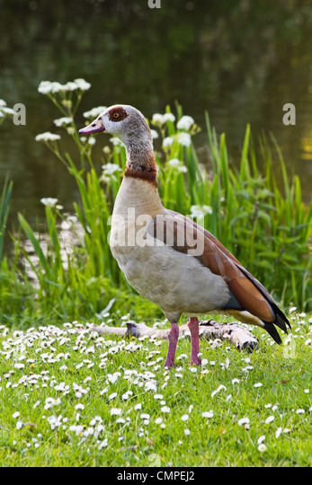 Duck In Flowers Stock Photos Duck In Flowers Stock Images Alamy