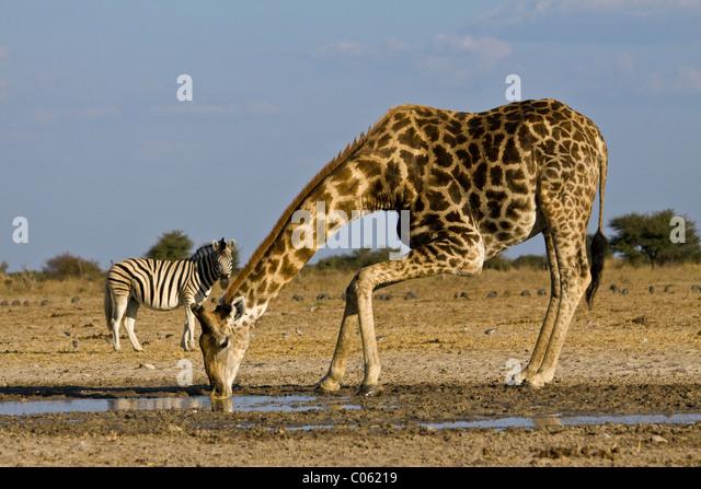Giraffe drinking, Etosha National Park, Namibia. - Stock Image