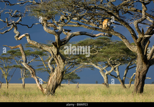 African Lioness using tree as a lookout, Nogorongoro Conservation Area, Serengeti National Park, Tanzania. - Stock-Bilder