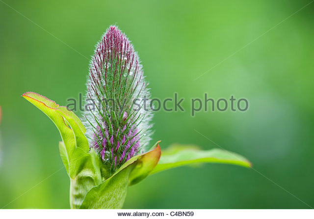 Trifolium rubens. Nobel clover. Ornamental red clover plant before the flowers emerge - Stock Image
