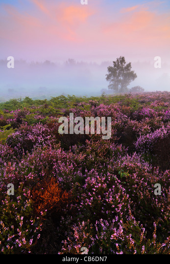 Sunrise on a misty late summer morning at Rockford Common in the New Forest National Park, Hampshire, UK - Stock Image