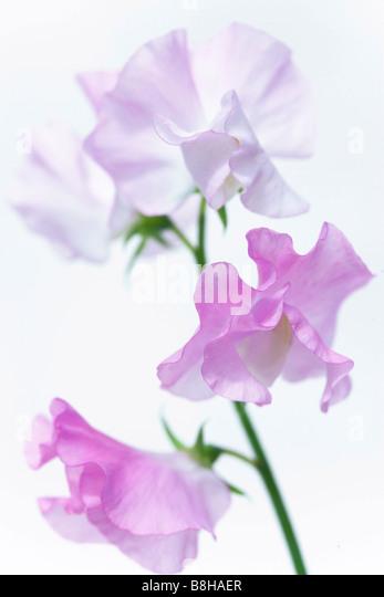 COMMON NAME: Sweet pea LATIN NAME: Lathyrus odoratus - Stock Image