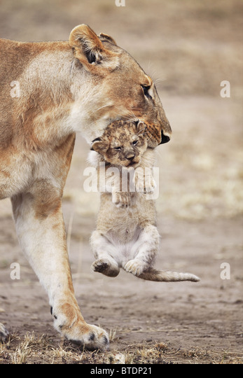 Lioness carrying cub.Will frequently move young cubs in order to prevent an accumulation of scent. Masai Mara National - Stock Image