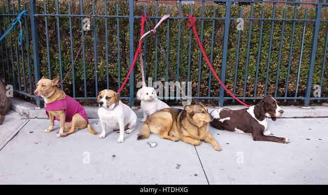 New York City, USA. 10th March 2017. A group of dogs check out the action on West 23rd Street in the Chelsea section - Stock Image