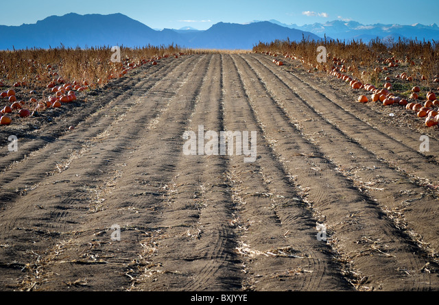 pumpkin patch furrowed land - Stock Image