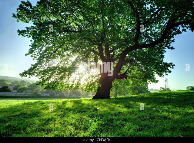 Tree in bright sunlight - Stock Image