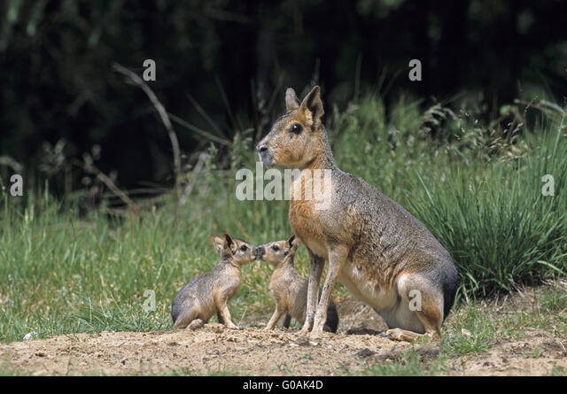 Female Patagonian Cavy with kissing pups - Stock Image
