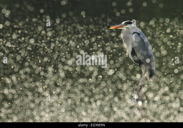Grey Heron. London, UK - Stock Image