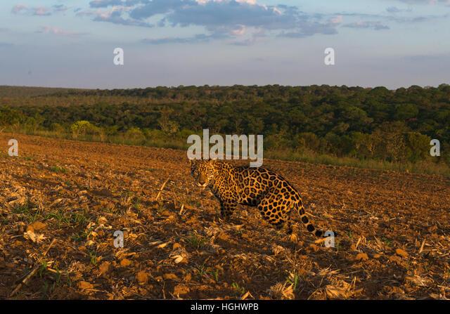 A Jaguar exploring a crop field at sunset. - Stock Image