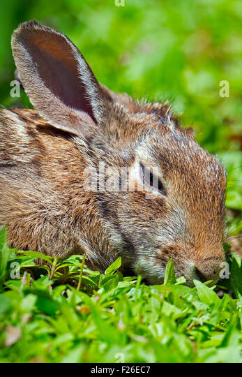 Eastern Cottontail Rabbit laying in the grass - Stock Image