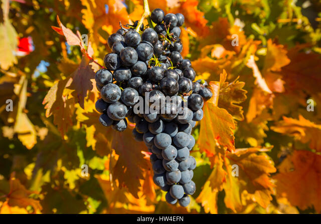 Vineyards in Aranda de Duero, Rivera del Duero wines district. Valladolid Castilla Leon, Spain Europe - Stock Image